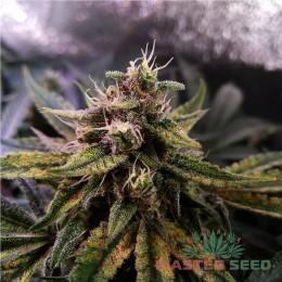 Auto Colorado Cookies fem. Master-Seed