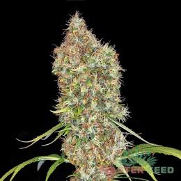 Auto Super Bud fem. Master-Seed