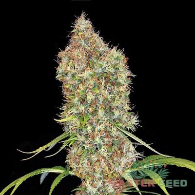 Семя Auto Super Bud  сид банка Master-Seed
