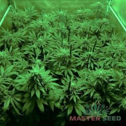 Afghan Kush fem. Master-Seed