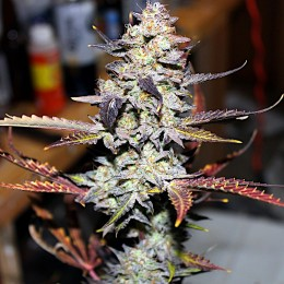 Great White Shark fem. Master-Seed