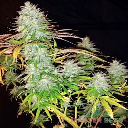 Power Plant fem. Master-Seed