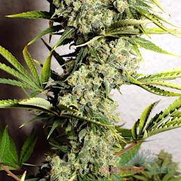 White Russian fem. Master-Seed